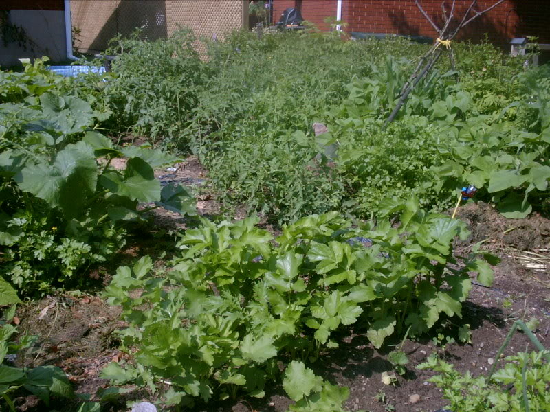 parsnips-grow-2